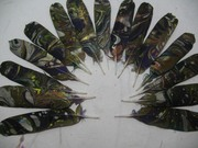 African Grey Parrot Feathers