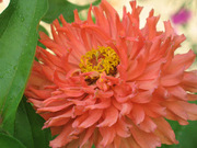 My favorite Flower~A Coral Zinnia