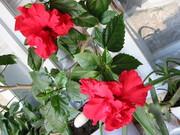 trandafirul (nostru) chinezesc