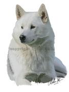 Alaskan Malamute - vit