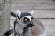 Lemur ;)