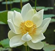 2247151022_328550dd5d_lotus
