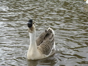 head goose