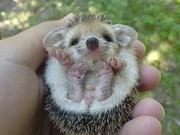 babyporcupine
