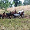 rangehorses