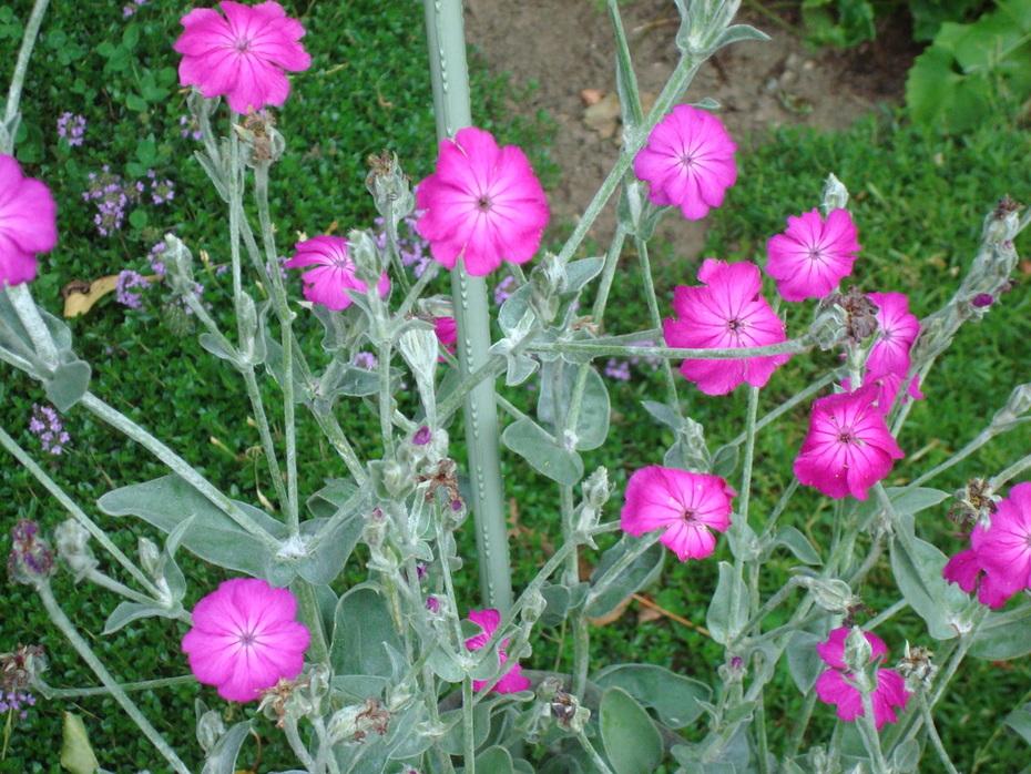 island pinks