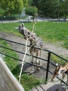 male giraffe & baby