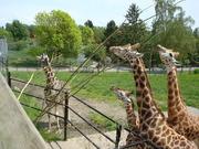 giraffes in unison