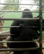 Are You Like That Gorilla In A Cage?