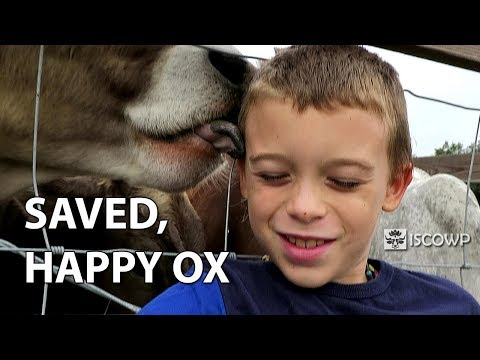 Saved, Happy Ox (2 years later)