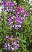 flower show purple_6061_2 copy