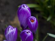 Purple_Crocus_Flowers