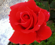 Τριαντάφυλλο ένα ευαίσθητο λουλούδι