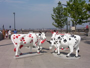 vaches 042