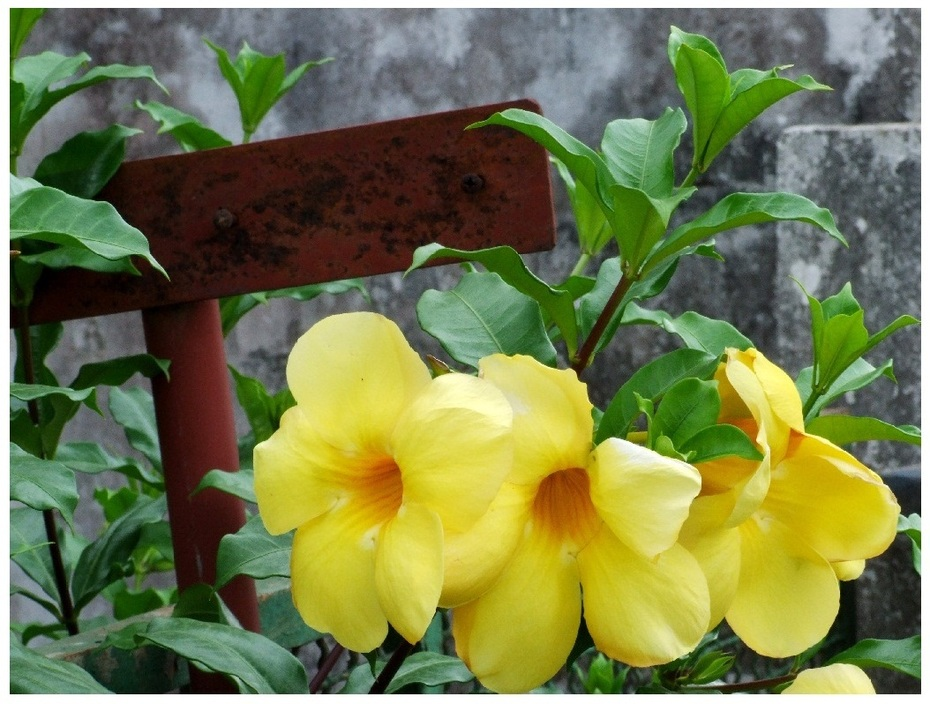 African flower yellow (Nature6243)