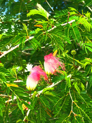 African wildflower pink (Nature6616)