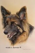 Portrait de chienne, croisée Berger Allemand et Berger de Tervueren