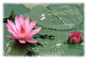 meditation_lotus