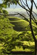Guachimonton en verde