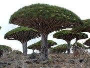 A Árvore do Dragão ( Dracaena draco ) - Ilhas Canárias