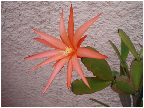 quintal flor cactus