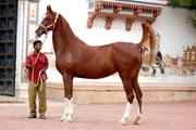 Nazruddin - Marwari Horse