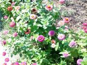 Florile mele din Brestei