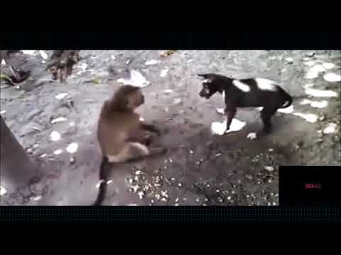 Ghetto Bipolar Monkey Steals Dog's Food