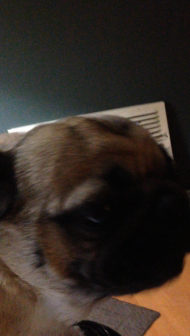 Pug sings I love you!