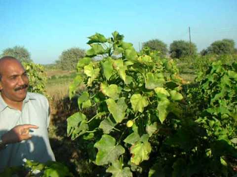 jatropha  make Money   stop loadshedding  buy from us  Salim Mastan Pakistan  seeds at EES farm