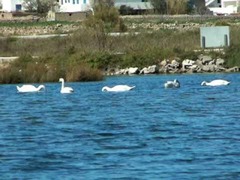 Swans in Antiparos / ΑΝΤΙΠΑΡΟΣ   ΚΥΚΝΟΙ  ΨΑΡΑΛΥΚΗ  1-3-2006