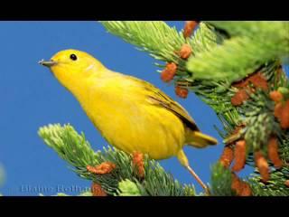 Yellow Bird : The Sun
