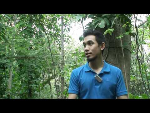 big tree Jatamon.mp4