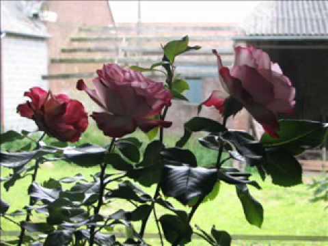 De mémoire de rose. Julos Beaucarne