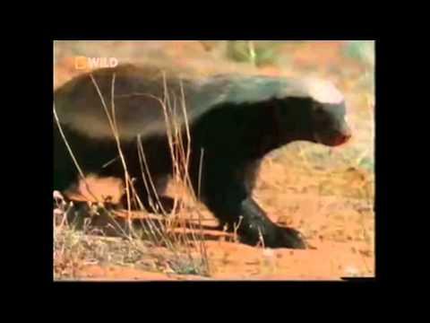 The Crazy Nastyass Honey Badger