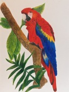 coloured pencil parrot
