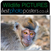 Crab-eating Macaque with amber eyes