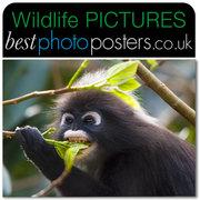 Dusky Leaf Monkey feeding on a Sea Bean Tree