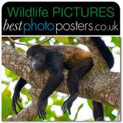 Golden Mantled Howler Monkey Chilling-out