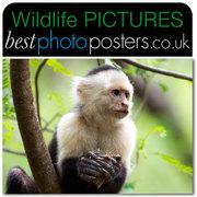 Capuchin Monkey feeding in an Acacia Tree