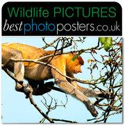 Proboscis Monkey feeding in the rainforest