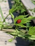 Ladybug on a hops leaf