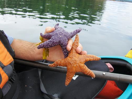 503_M_F_Starfish