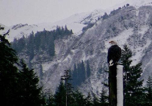 503_Bald_eagle_in_snow