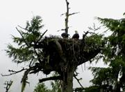 502_Eagle_Nest_with_babies_09_6_
