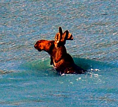 394_Swimming_moose