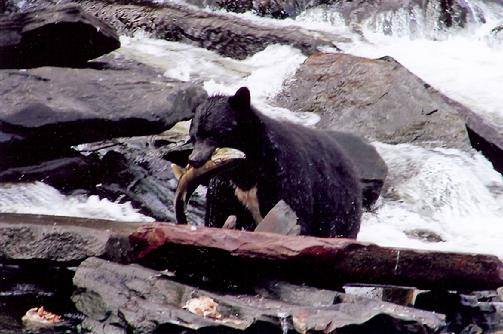 503_Black_bear_with_salmon