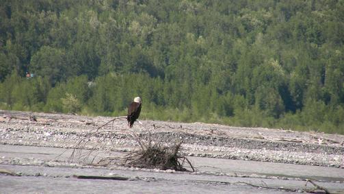 503_River_eagle_1