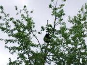 503_Bear_in_tree_2
