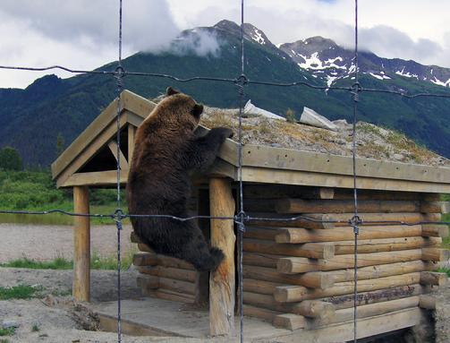 503_Bear_on_cabin
